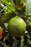 guava-215047_640