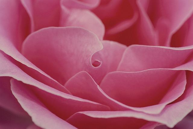 rose-600598_640