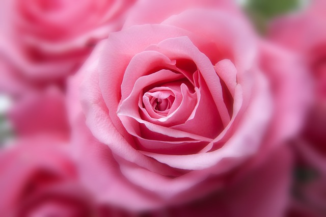 roses-194110_640