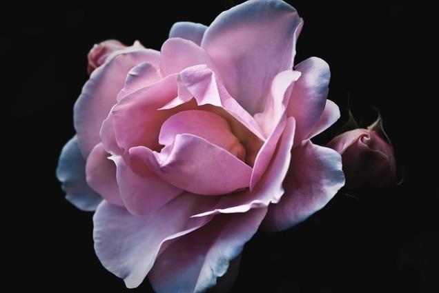 roses-56702_640