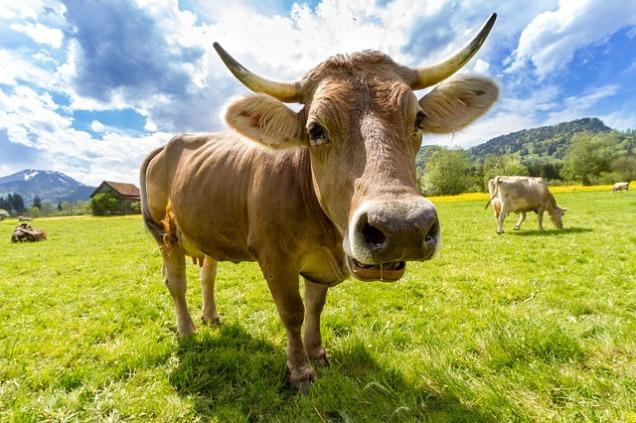 cow-759018_640