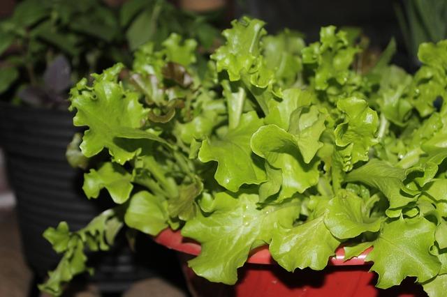 lettuce-602955_640
