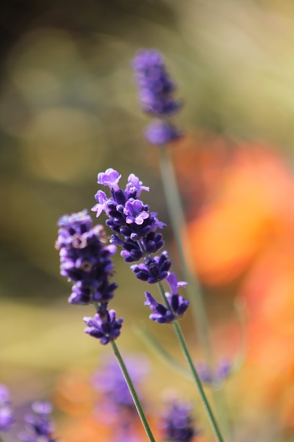 lavender-755737_640