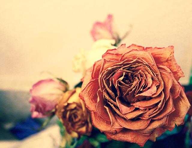 rose-975696_640