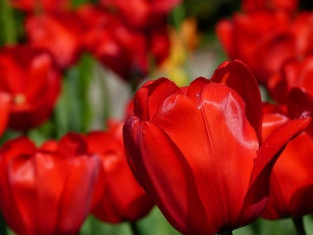 tulips-141399_640