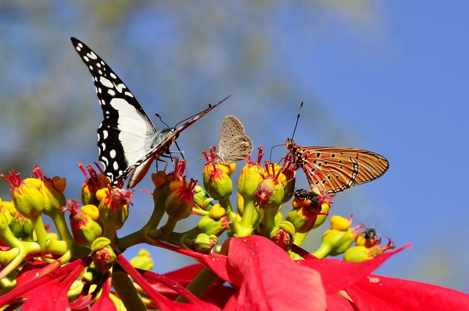 butterflies-55052_960_720