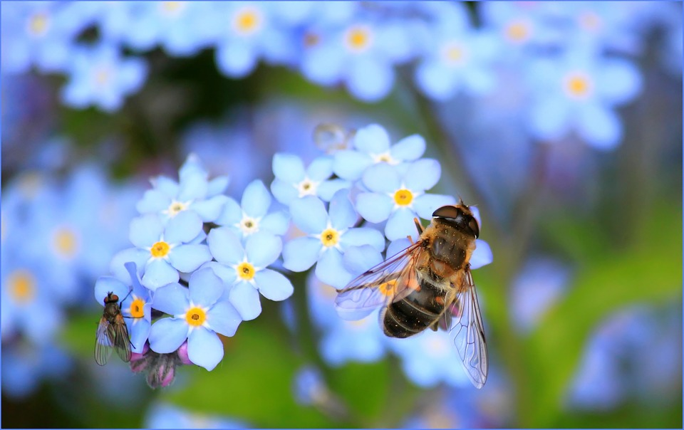 forget-me-not-257176_960_720
