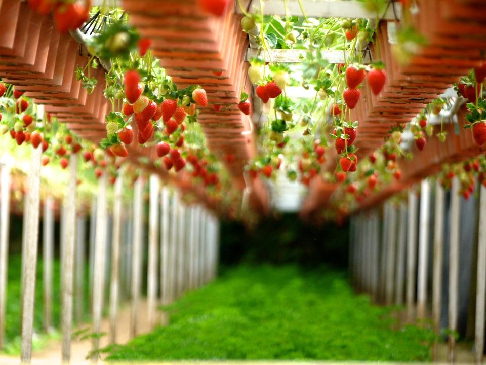 strawberry-260687_960_720