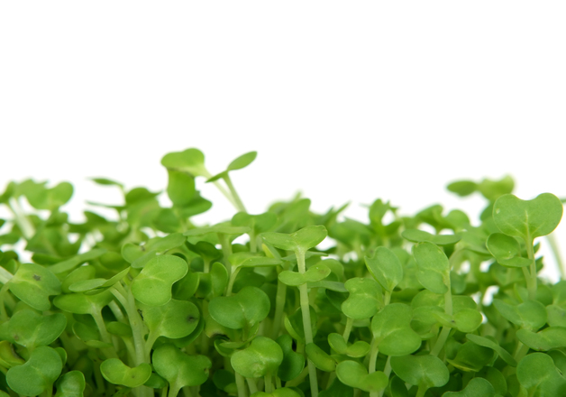 Fresh summer cress, healthy salad garnish food isolated over white, macro close up
