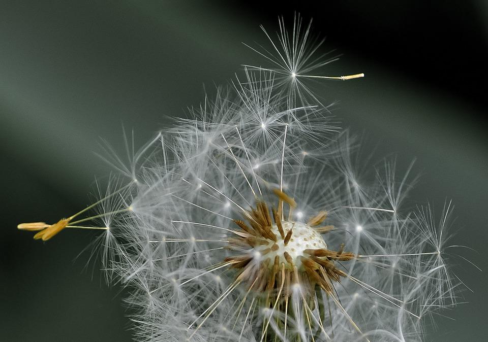 dandelion-411756_960_720